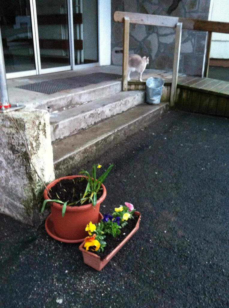 les jonquilles et tulipes commencent à pousser