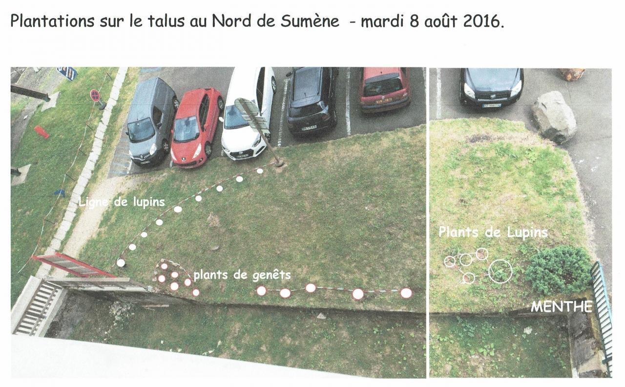 les plantations de lupins pour floraison en 2017